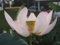 [花][ノンフィルター]中国古代蓮