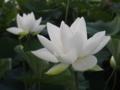 [花][ノンフィルター]西湖蓮
