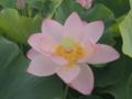 [花][ライトトーン]インド蓮