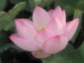 [花][ファンタジックF]インド蓮
