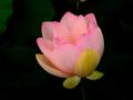 [花][ジオラマ]蓮