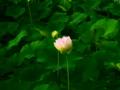 [花][クロスプロセス]蓮