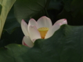 [花][ノンフィルター]蓮