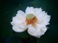 [花][トイフォト]蓮