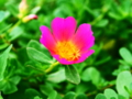 [花][クロスプロセス]ハナスベリヒユ