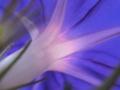 [花][ノンフィルター]朝顔