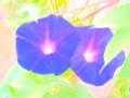 [花][ウォーターカラー]朝顔