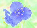 [花][ウォーターカラー]紫露草
