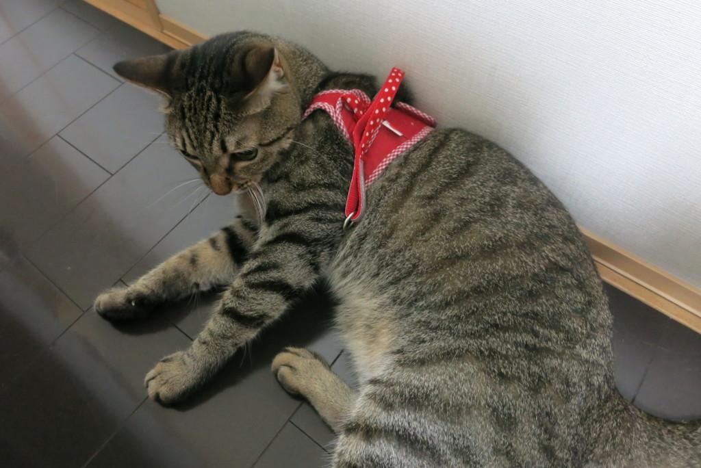 猫用ハーネスつけてみました