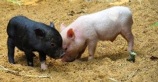 鶴橋 黒い豚丼