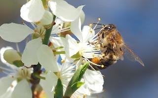 ミツバチ 蜂蜜