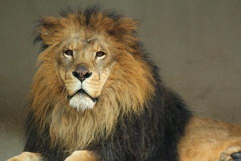 ライオンの佇まい