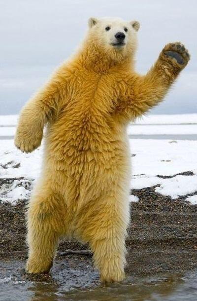 手を振るホッキョクグマ