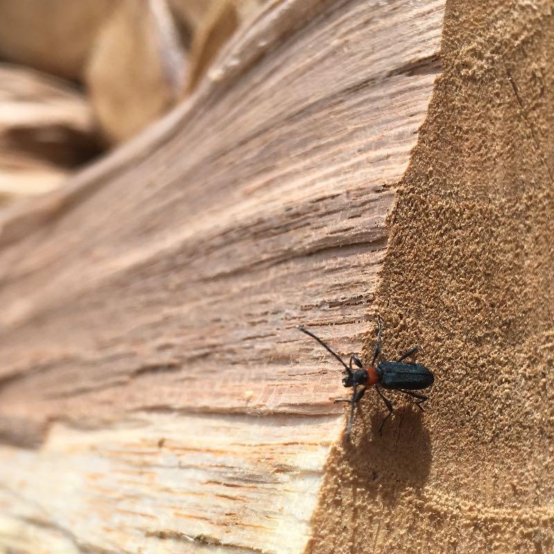 薪にやってくるホタルカミキリムシ薪山崎