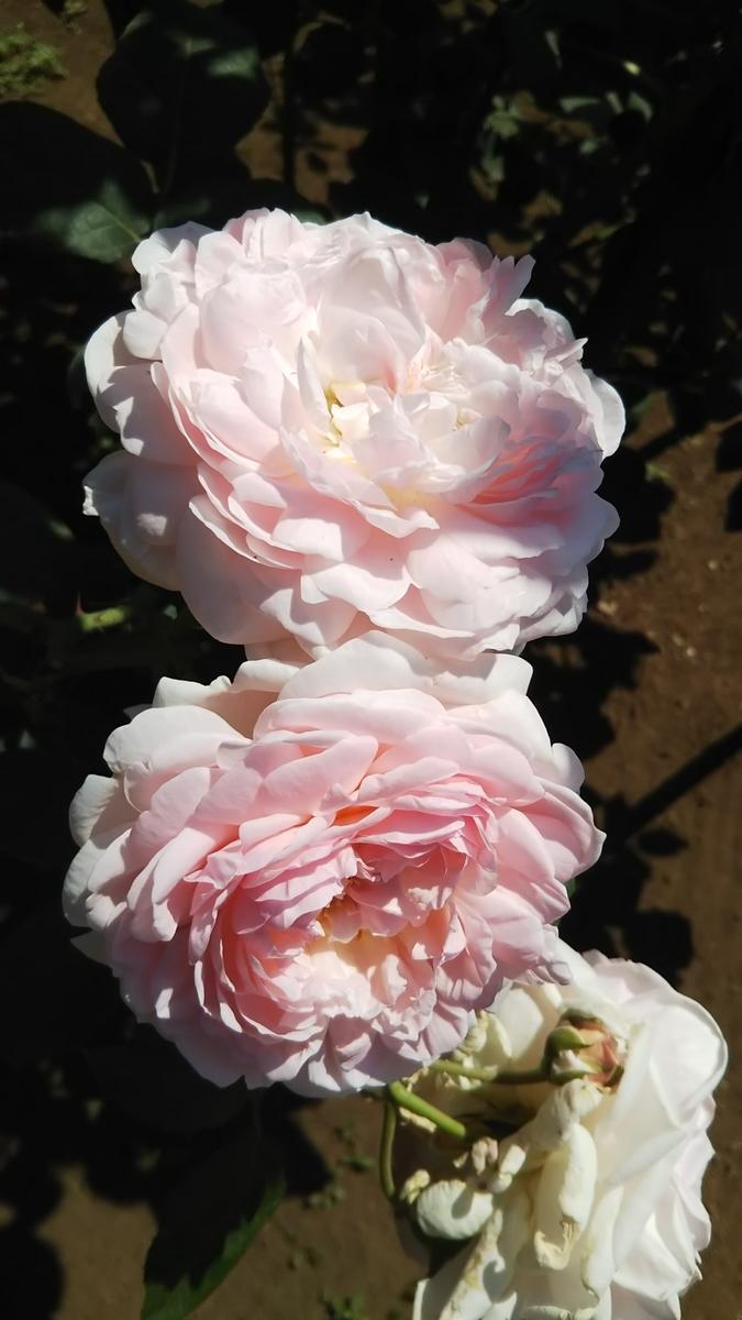 雅子皇后陛下のバラ
