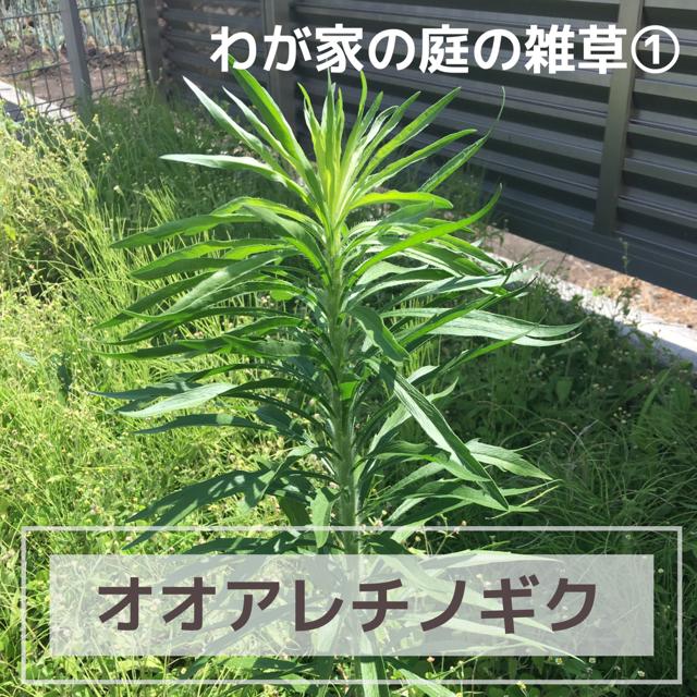 庭に生えているオオアレチノギク