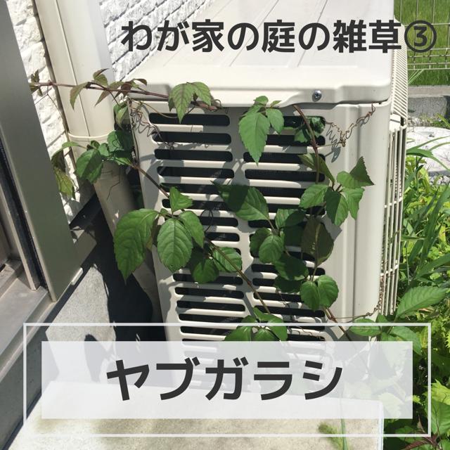 つる植物のヤブガラシ