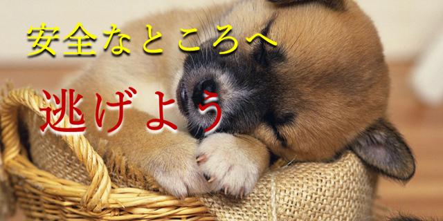 柴犬の子犬が安心してぐっすり眠っている写真