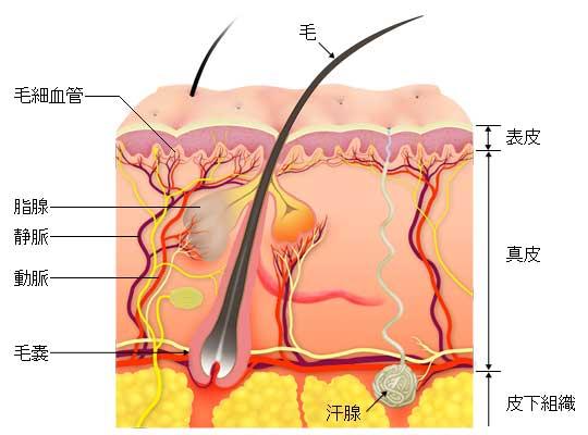 表皮から皮下組織までの解剖のイラスト