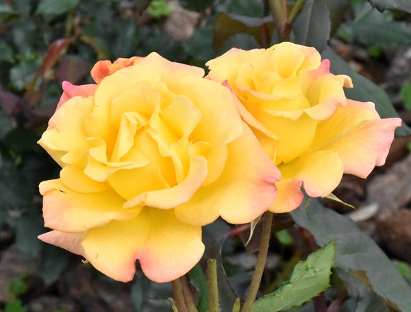 f:id:flowerTDR:20170514204409j:plain