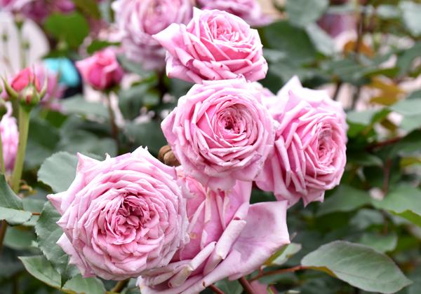 f:id:flowerTDR:20170515202649j:plain