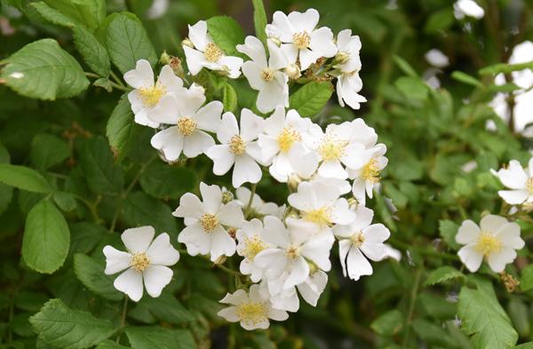 f:id:flowerTDR:20170519094044j:plain
