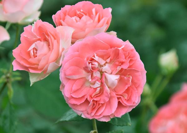 f:id:flowerTDR:20170520160207j:plain