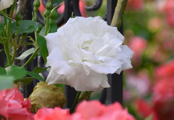 f:id:flowerTDR:20170523083632j:plain