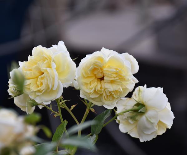 f:id:flowerTDR:20170609090230j:plain