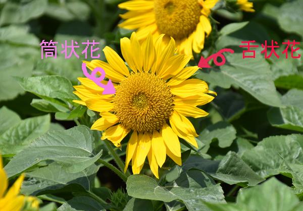 f:id:flowerTDR:20170806211518j:plain