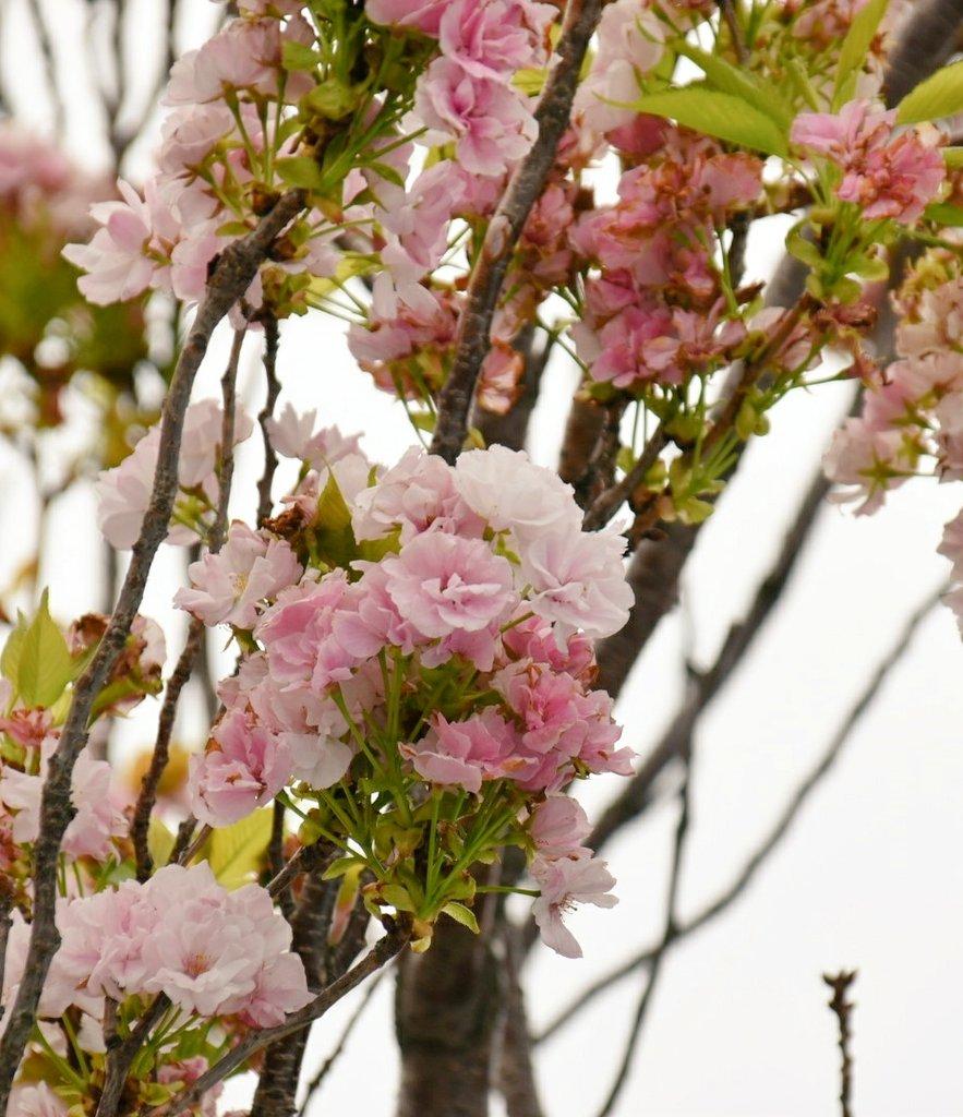 f:id:flowerTDR:20180415234658j:plain
