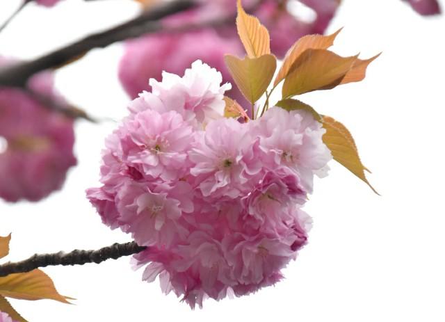 f:id:flowerTDR:20190418060855j:image