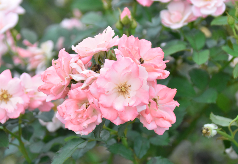 f:id:flowerTDR:20200709114143j:plain