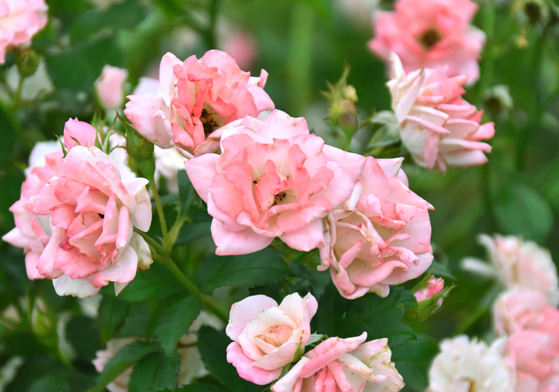 f:id:flowerTDR:20200709114154j:plain
