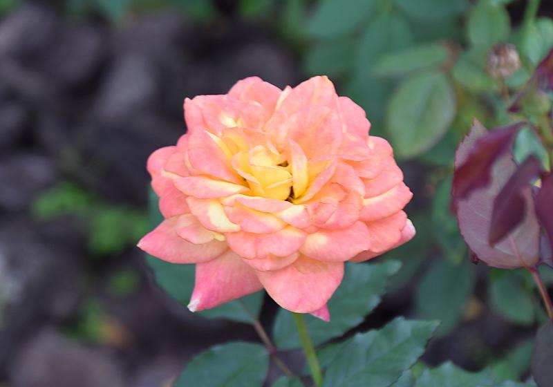 f:id:flowerTDR:20201014083239j:plain