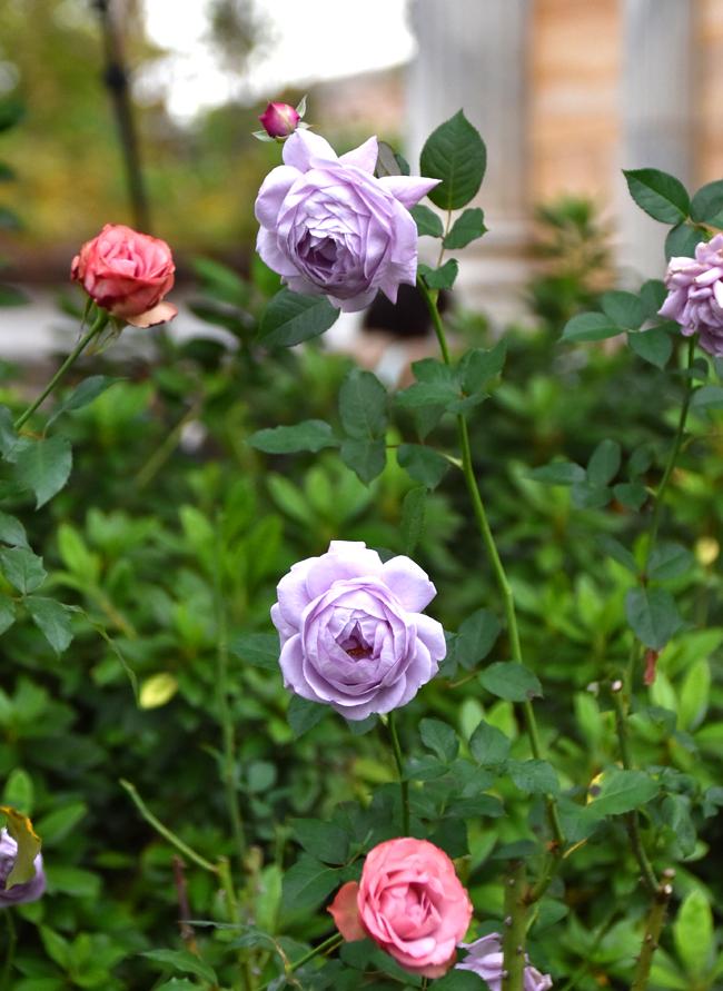 f:id:flowerTDR:20201125080749j:plain