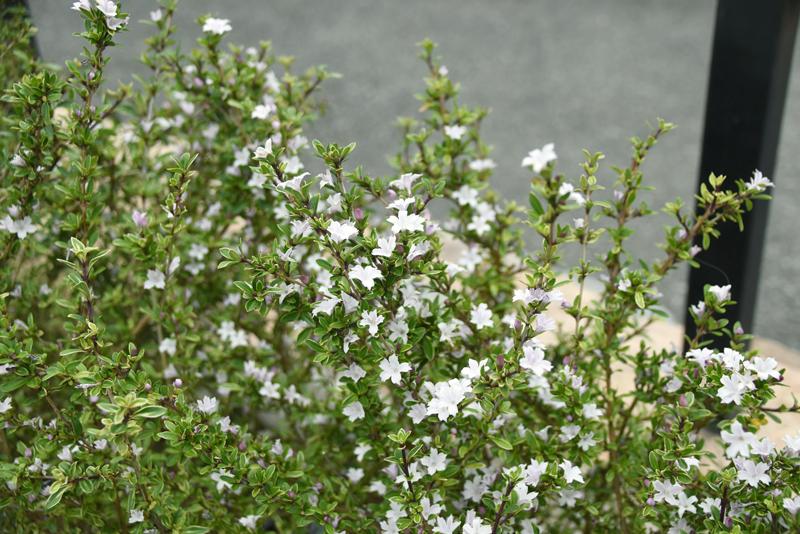 f:id:flowerTDR:20210604092205j:plain