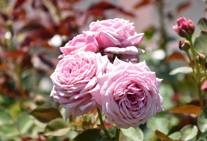f:id:flowerTDR:20210613083919j:plain