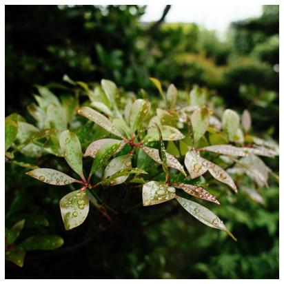 モッコクの若葉と水滴