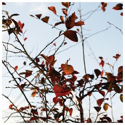 ブルーベリー 赤い葉