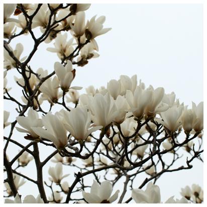 モクレンの白い花