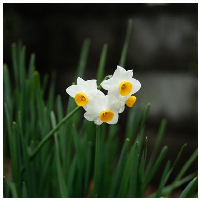 庭に咲いたスイセン