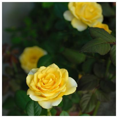 9月の黄バラ