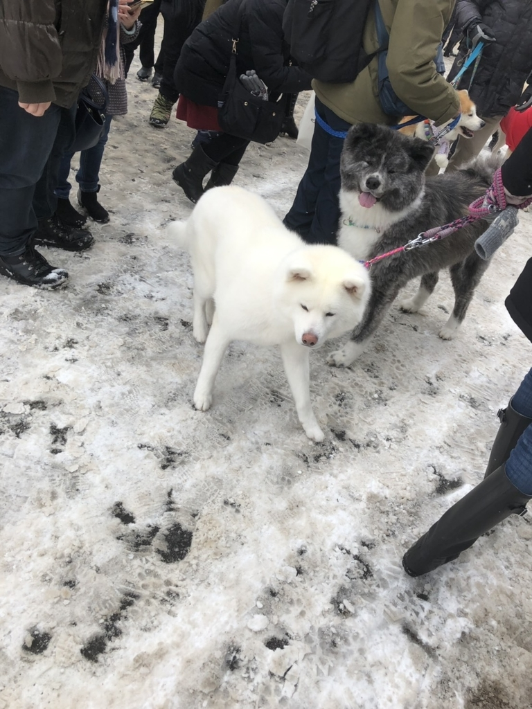 アメッコ市の秋田犬のパレードの画像