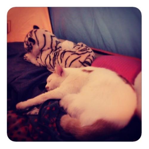 【オテテのロングなよく寝れているよいにゃんこしゃん】