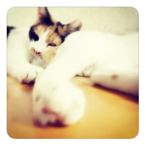 【猫が猫枕】