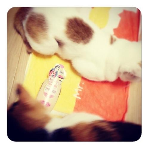 【明色うす化粧乳液と猫を添えて】