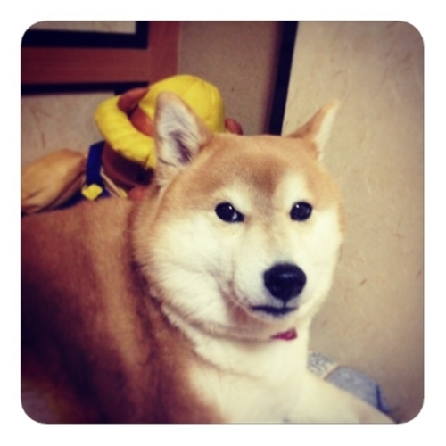 【ガンガンよく吼える柴犬は可愛い】