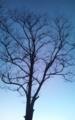 ニセアカシアの大木