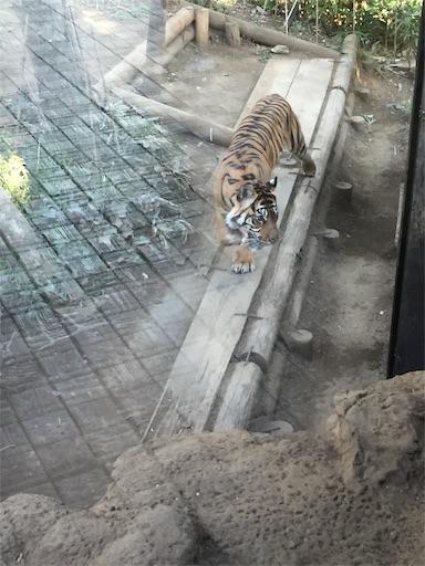 上野動物園のトラ